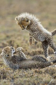 Playful Cheetah cubs