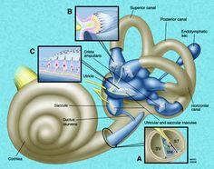 Membranous labyrinth