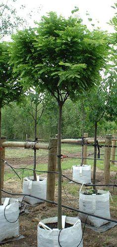Gleditsia triacanthos inermis - Elegantissima - Honey Locust Tree Blerick Trees Buy Online Trees Advanced Trees, Screening Plants, Fruit Trees