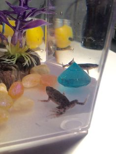 This article is about how to care for African Dwarf Frogs! Set up a tank for your African Dwarf Frogs. They can live peacefully with some types of fish and snails that live in water.