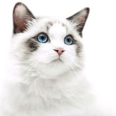 What is this handsome cat breed? Who knows ? • Какой породы этот красавчик ? Кто знает ? #cat #cats #pussycat #breed #exhibition #catexhibition #white #animals #кошка #кот #кошечка #дивотные #домашнийкот #pet #pets #красавчик #home #homecat  #persian #por Cats, Animals, Gatos, Animales, Kitty Cats, Animaux, Animal Memes, Cat Breeds, Kitty