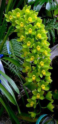 O gênero possui 44 espécies, mas a maioria das vendidas no Brasil são híbridas.Suas flores são muito duráveis, sendo freqüentemente utilizadas como flor de corte, para a utilização em arranjos florais que podem durar semanas. O florescimento ocorre geralmente na primavera, por ser uma planta de clima temperado. #primaveragarden #orquideas #flores #casamento #arranjosflorais #buquedenoiva Cymbidium Ha Bui 'Your Majesty'