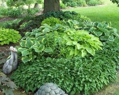 Maple Grove: I love Hostas! and Shade Gardens