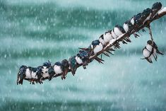 World Bird Photo Contest - Tormenta de nieve golondrinas bicolor (swallows)golondrinas bicolor (swallows) Winter Photography, Animal Photography, Nature Photography, Photography School, Digital Photography, Photography Gallery, Winter Landscape, Landscape Photos, World Birds