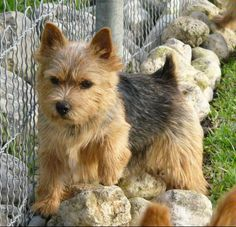 Terrific Black and Tan Norwich Terrier. One day Chief will have a friend when we get a house