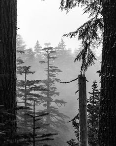 Cloud Forest. Fine Art Nature Photography Print for Home Decor Wall Art. At high elevations it is possible to hike right into a cloud. This view between large Douglas Fir trees in the Mt Hood National Forest shows the forest disappearing into the cloud. ~~ SELECT DESIRED SIZE USING THE OPTIONS BUTTON ABOVE ADD TO CART. Available in: 5x7, 8x10, 11x14, 12x18, 16x24, 20x30, 24x36 prints.