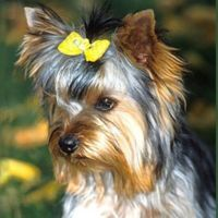 How to Groom a Yorkshire Terrier: 16 steps - wikiHow