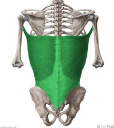 """The latissimus dorsi (""""the lats"""") is the widest muscle in the human body. It is relatively thin and covers almost all back muscles at the po..."""