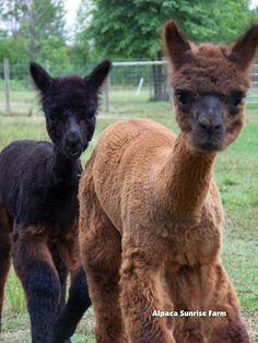 HUACAYA CRIAS. Alpaca Sunrise Farm is a full-service Alpaca farm since 1998 • Alpaca sales • breeding • boarding • Alpaca raw fiber, yarn, roving sales for knitters, crocheters, weavers and fiber artists. www.AlpacaSunrise.com #alpaca #alpacas