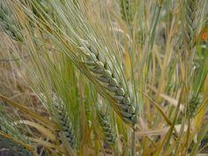 Beneficios de la cebada para el organismo - buena salud