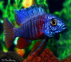 "Premium Malawi Blue Peacock Cichlid, 2"" to 2.5"" long"