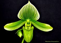 unusual orchids - Google Search