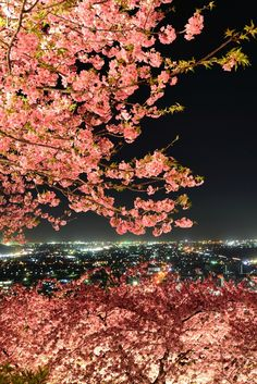 Cherry blossoms in full bloom, Matsuda mountain, Kanagawa, Japan