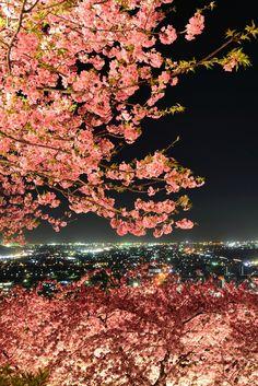 Cherry blossoms in full bloom, Matsuda mountain, Kanagawa, Japan