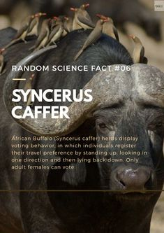 The African buffalo (Syncerus caffer) live in large herds of females and their offspring, with herds that can have hundreds of individuals. The males form sub-herds around the core herd, and at certain parts of the year they form bachelor groups. The African buffalo is generally considered a dangerous animal, and over 200 people die from African buffalo attacks every year. Random Science Facts, African Buffalo, Dangerous Animals, Male Form, Stand Up, Core, People, Get Back Up, People Illustration