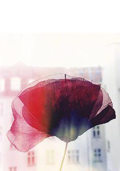 Poppy on Print