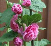 Chaters Double Rose Hollyhock #garden #plants #flowers