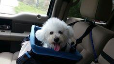 My beautiful Bichon Suzie Q in her car seat.
