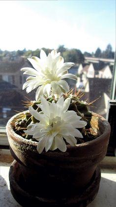 My window cacti