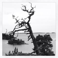 Dead tree with seagull in the Stockholm Archipelago. Stockholm Archipelago, Art, Art Background, Kunst, Art Education