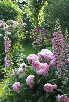 Peonies and foxglove in a late spring garden