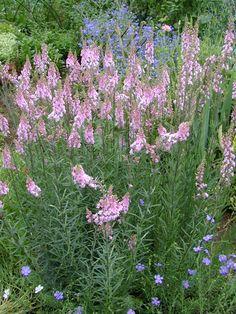 Linaria purpurea 'Canon J Went'