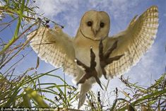 An poster sized print, approx (other products available) - Barn Owl (Tyto alba) hunting/hovering, Somerset, UK, trained bird. - Image supplied by Nature Picture Library - Poster printed in the USA Owl Pictures, Nature Pictures, Fine Art Prints, Framed Prints, Canvas Prints, Framed Wall, Owl Talons, Tyto Alba, Owl Wings