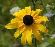 black eyed susan flower - Bing Images