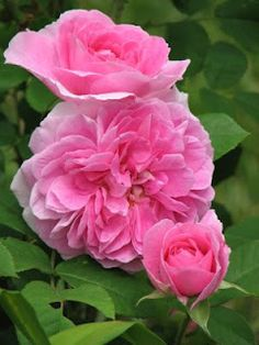 Gertrude Jekyl roses.fanning out stems encourages flowers.strong fragrance.very healthy and reliable climber.6-8ft