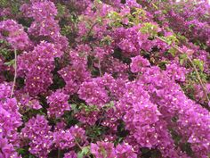 Bougainvillea in the Keramikos