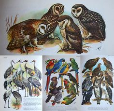 Birds Of The World By Hans Hvass with Illustrations by Wilhelm Eigener