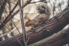 squirrel animal trees  - download photo at Avopix.com for free     https://avopix.com/photo/20613-squirrel-animal-trees    #rodent #squirrel #animal #trees #mammal #avopix #free #photos #public #domain