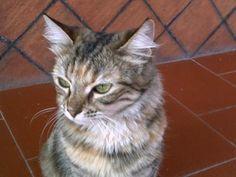 Fibrosarcoma gatto - http://elicats.it/fibrosarcoma-gatto/ #MALATTIEGATTIA-M