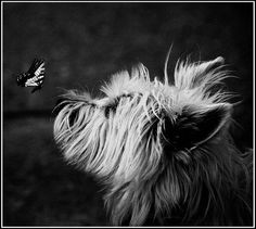 Westie and a Butterfly!