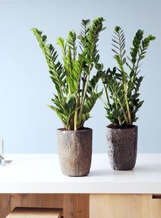 Houseplants: the ZZ plant (Zamioculcas zamifolia) is experiencing a boom in popularity, with it's dark glossy leaves and easy care being just a few of the benefits. Read more about house plants here http://www.gardenersworld.com/plants/features/plants/10-exotic-house-plants/3482.html
