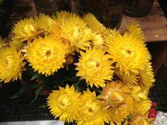 Australian native yellow paper daisy