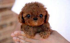 Miniature golden doodle puppy  I <3 <3<3 this puppy and I wont!!!!!!!!!!!!!!!!!!!!!!!!!!