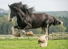 A Clydesdale horse frolics in a paddock in the Cheviot Hills, Northumberland ahead of a heavy horses event