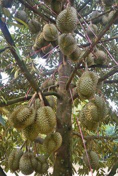 Fruit Tree Garden, Fruit Plants, Fruit Trees, Tropical Fruits, Tropical Garden, Durian Tree, Fruit World, Fruit Bearing Trees, Indoor Water Garden