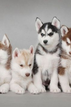 Baby Huskies ❤