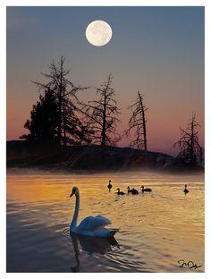 Swans at sunset moon....