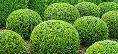 Shaping shrubs can create a distinct look for your yard!