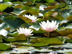 Lily pads in the gardens of Vienna, Austria