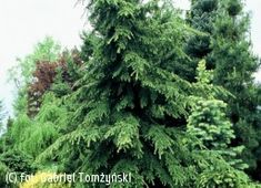 34 Best Thuja Images Thuja Occidentalis Gardens Landscaping