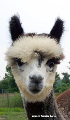 Alpaca farming is a great way to pass the time. However, learn how to make money alpaca farming to avoid making a mistake in your career. Baby Llama, Cute Llama, Farm Animals, Animals And Pets, Cute Animals, Sunrise Farm, Llama Face, Alpaca My Bags, Llama Gifts
