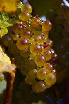 Pinot Blanc, It Ain't all Gris. A good article about Pinot Blanc - one of our favorites here at #Donati.