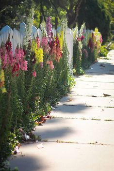 Love these tall snapdragons along a white picket fence and they hold up well as cut flowers also.