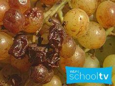 Van druif tot rozijn- Schooltv / Netwijs.nl - Maakt je wereldwijs