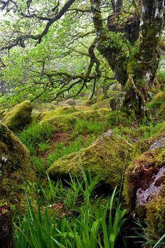 Wistman's Wood,Dartmoor National Park,Devon,England.