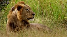 Gorongosa Park - Lion Mystery == If I were to ever go to Africa, this is the kind of place I would want to see. Best Television Series, Wilderness, Mystery, National Parks, African, Cats, Animals, Gatos, Animales